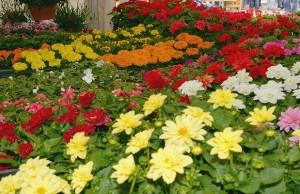 sajam-cvijeca1